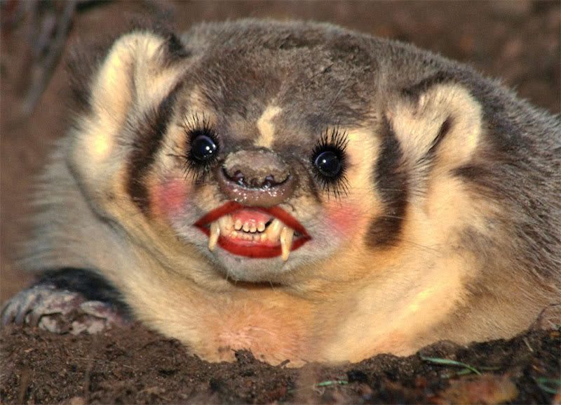 badger-1